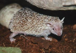 Lesser Hedgehog Tenrec, female