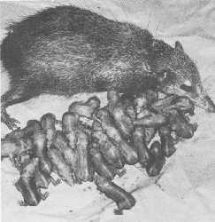 Female Tailless tenrec (Tenrec ecaudatus) with ther newborn litter of 31 at Wassenaar Zoo; 30 survived to maturity.